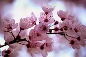 Cherry-Blossoms2
